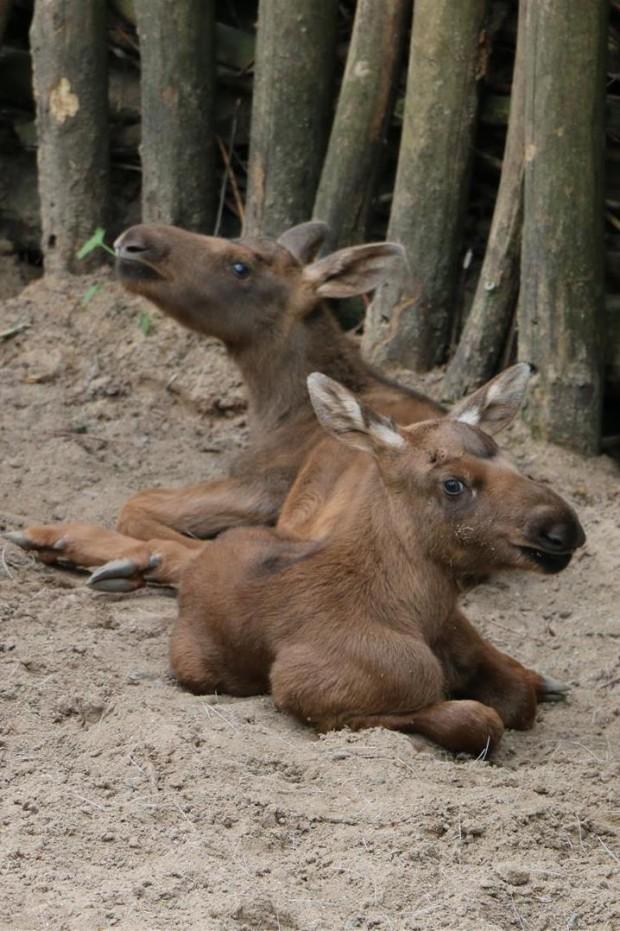 Elch-Babys in der ZOOM Erlebniswelt