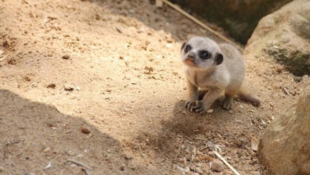 Erdmännchen-Baby im Zoo Hannover im Mai 2016