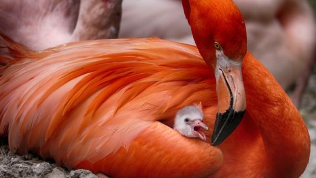 Flamingo-Baby im Tierpark Hellabrunn 2016