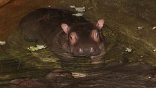 Erlebnis-Zoo Hannover freut sich 2016 über ersten Flusspferde-Nachwuchs seit 10 Jahren