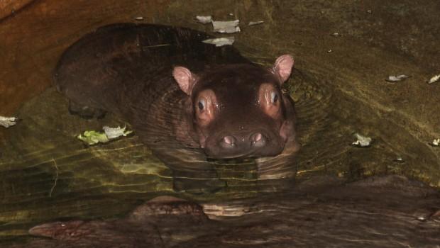 Flusspferd-Baby im Erlebnis-Zoo Hannover 2016