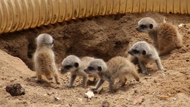 Fünf Erdmännchen-Babys in Hannover