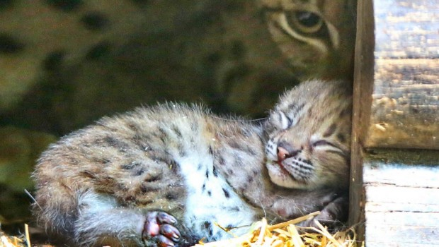 Luchs-Baby im Zoo Karlsruhe 2016