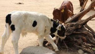 Erlebnis-Zoo Hannover begrüßt zwei besondere Bullen: Meyers Hof mit Nachwuchs bei bedrohten Haustierrassen