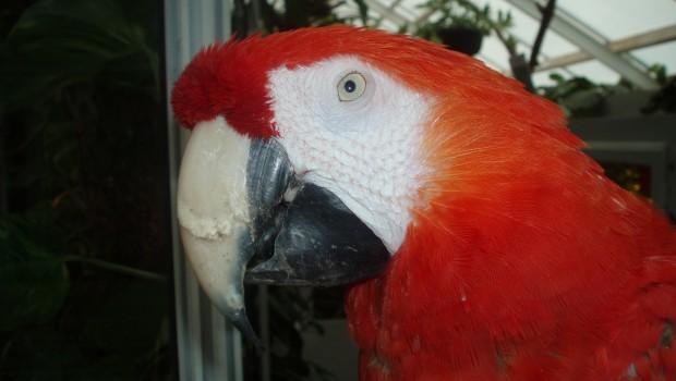 Pippi-Langstrumpf-Papagei Rosalinda