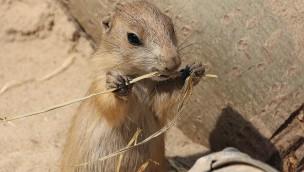 Erlebnis-Zoo Hannover 2016 mit Nachwuchs bei den Waldbisons und Präriehunden