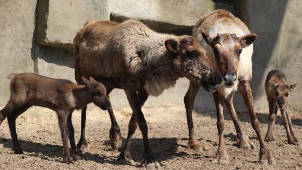 Drei Rentierjunge entdecken bereits ihre Anlage im Zoo Osnabrück, ein weiteres Jungtier wird noch erwartet. (Foto: Zoo Osnabrück, Marie Meierhofer)