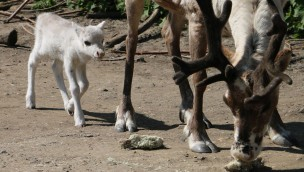Elch-Babys und Rentier-Jungtiere in der ZOOM Erlebniswelt geboren