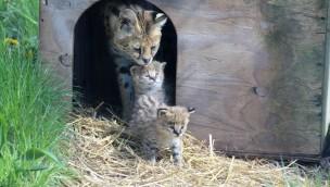 Im Zoo Osnabrück erobern drei Rentierjunge und drei Servalkätzchen ihr Gehege