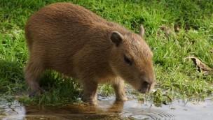 Münchner Tierpark Hellabrunn – Badezeit für Familie Wasserschwein