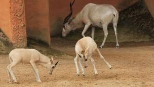 Bedrohte Addax-Wüstenantilopen im Erlebnis-Zoo Hannover haben Nachwuchs bekommen