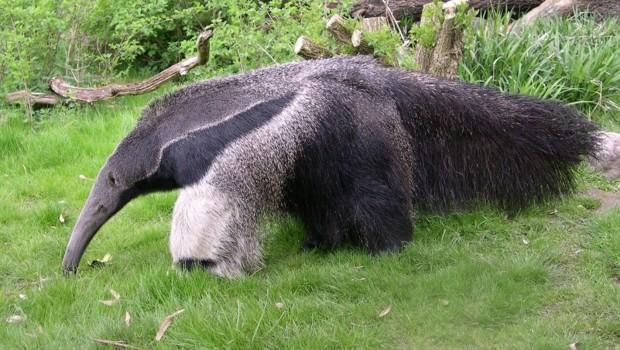 Ameisenbär im Zoo Dortmund