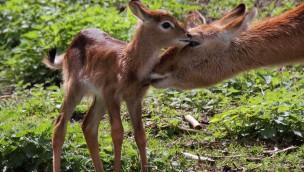 Erfolgreiche Antilopen-Zucht im Serengeti-Park: 2016 mit zahlreichem Nachwuchs
