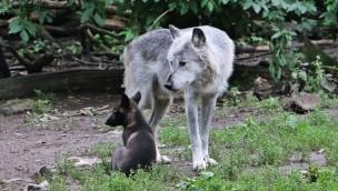 Baby-Wölfe in der ZOOM Erlebniswelt: Nachwuchs bei den Timberwölfen im Juni 2016