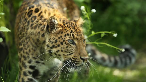 China-Leopard Julius im Tierpark Hellabrunn