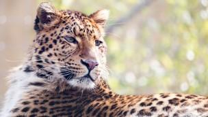 Willkommen, Julius – Chinesischer Leopard aus Hellabrunn im Erlebnis-Zoo Hannover angekommen