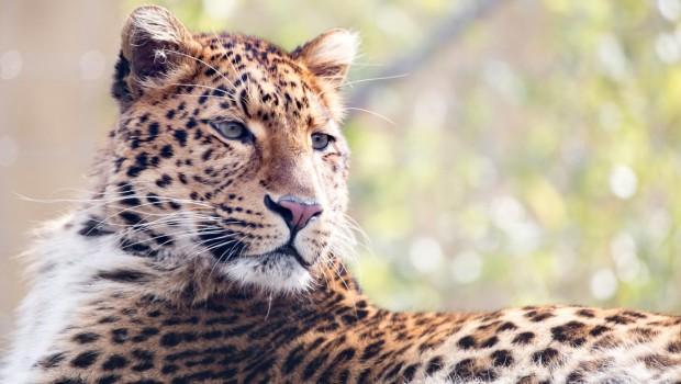 Chinesischer Leopard Julius