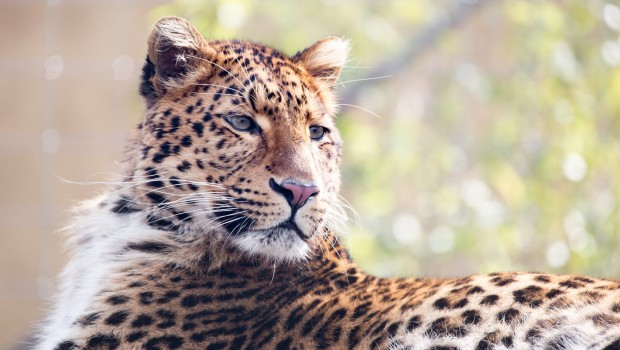 Chinesischer Leopard im Tierpark Hellabrunn