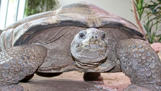 """""""Flunder"""" Riesenschildkröte im Zoo Karlsruhe"""