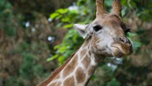 Giraffe im Zoo Dortmund