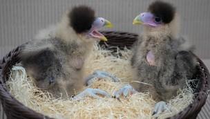 Jungvogelalarm im Weltvogelpark Walsrode: Viele Küken im Juni 2016 zu entdecken