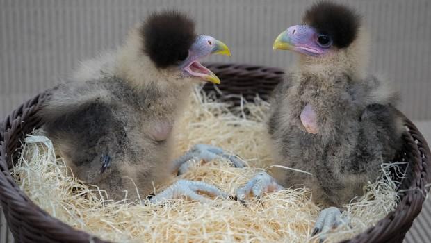 Karakara-Küken im Weltvogelpark Walsrode
