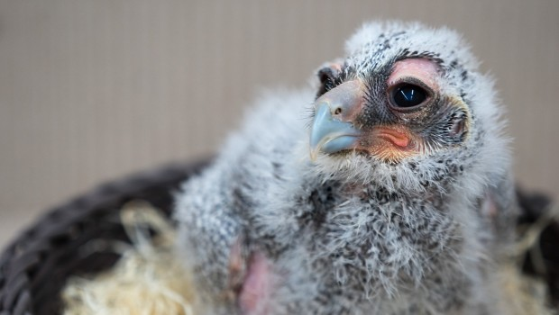 Milchuhu-Küken im Weltvogelpark Walsrode