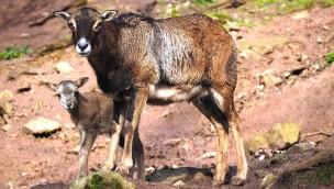 Junge Mufflons, Wildkatzen-Babys und kleine Schäfchen: Tierischer Nachwuchs in Tripsdrill