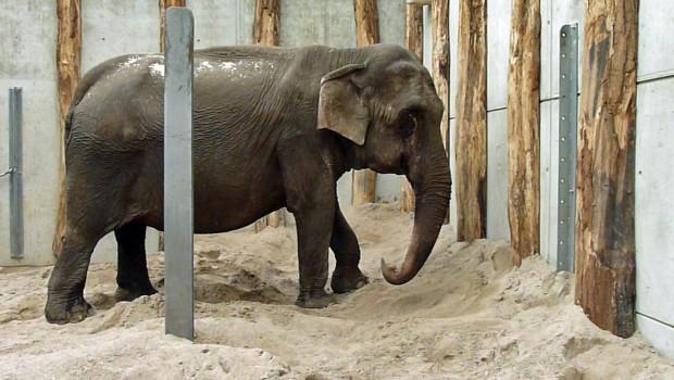 Nanda Zirkus-Elefant im Zoo Karlsruhe