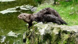 Otter-Baby in der ZOOM Erlebniswelt erkundet sein Revier