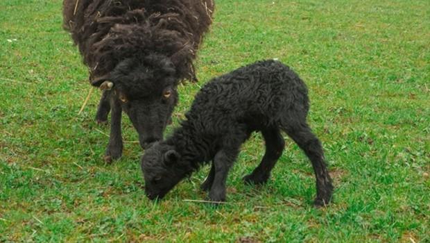 Schwarzes Schaf-Baby in Tripsdrill 2016