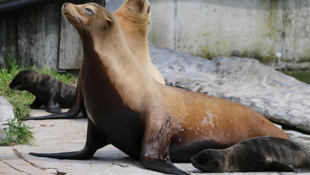 Seelöwen-Baby in der ZOOM Erlebniswelt 2016