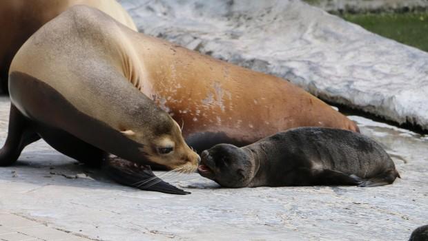 Seelöwenbabys in der ZOOM Erlebniswelt 2016