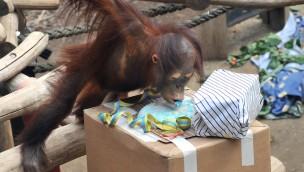 """Zoo Rostock feiert 3. Geburtstag von Orang-Utan-Jungtier """"Surya"""""""