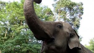 """Tierpark Cottbus feiert Elefanten-Geburtstag am 4. Juni 2016: """"Karla"""" wird 50 Jahre"""