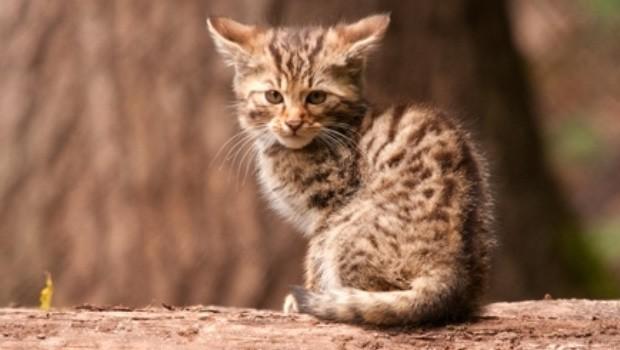 Wildkatzen-Baby in Tripsdrill 2016