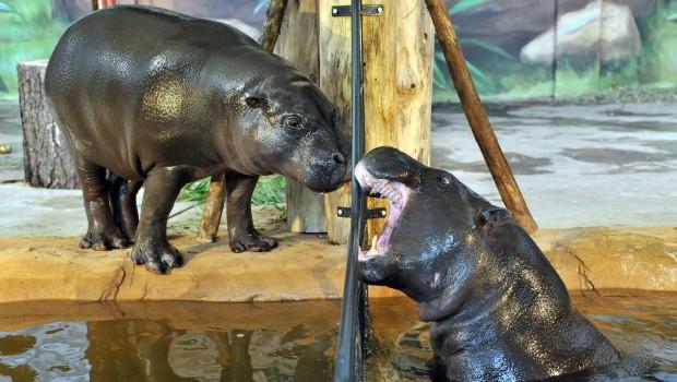 Zwergflusspferde im Wasser im Zoo Rostock