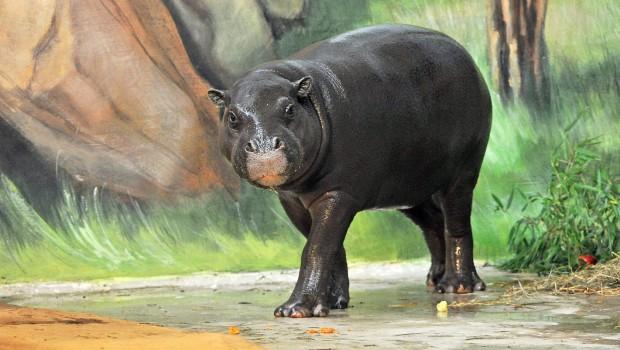 Zwergflusspferd Zoo Rostock - Außenrevier Erkundung