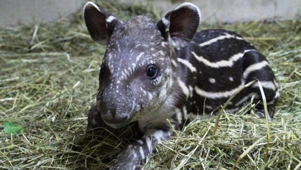 Amanda - Tapir-Baby im Zoo Osnabrück