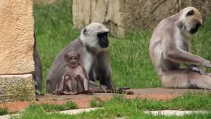 Erlebnis-Zoo Hannover 2016 mit Nachwuchs bei Hulman-Languren