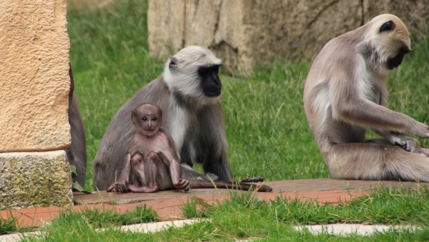 Hulman-Baby im Erlebnis Zoo Hannover im Juli 2016