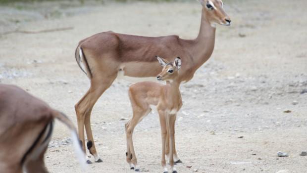 Impala Kitz im Zoo Osnabrück 2016