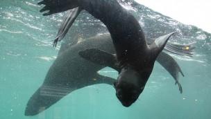 """Seebär-Baby """"Myrte"""" im Erlebnis-Zoo hannover unter Wasser"""