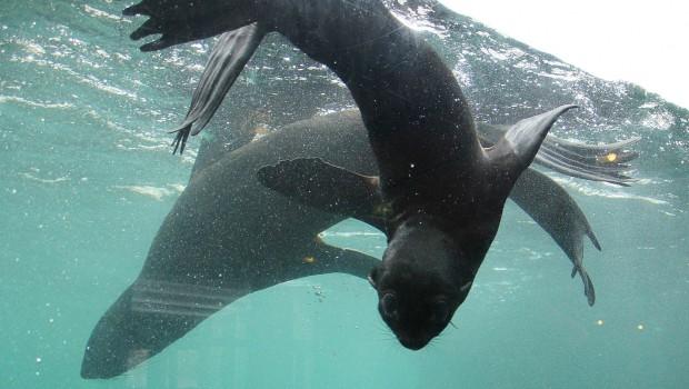 Seebär-Baby Myrte im Erlebnis-Zoo hannover unter Wasser