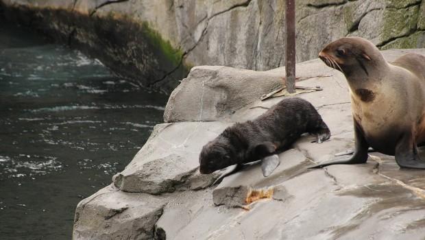 """Seebär-Baby """"Myrte"""" mit Mutter Diva im Erlebnis-Zoo Hannover"""