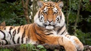 Tiger Fedor im Allwetterzoo Münster
