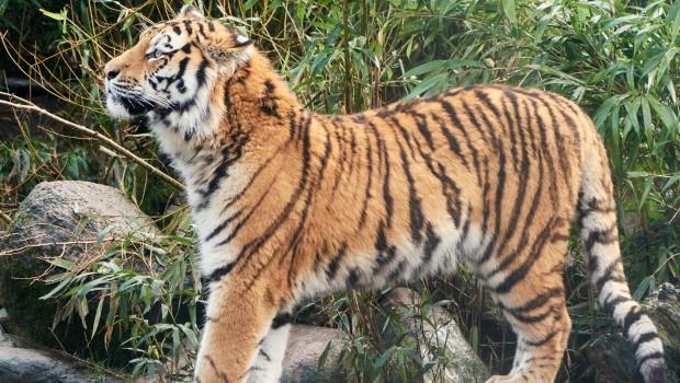 Tiger Fedor stehend im Allwetterzoo Münster