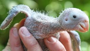 Zwei Tucumán-Amazonen im Zoo Karlsruhe geschlüpft