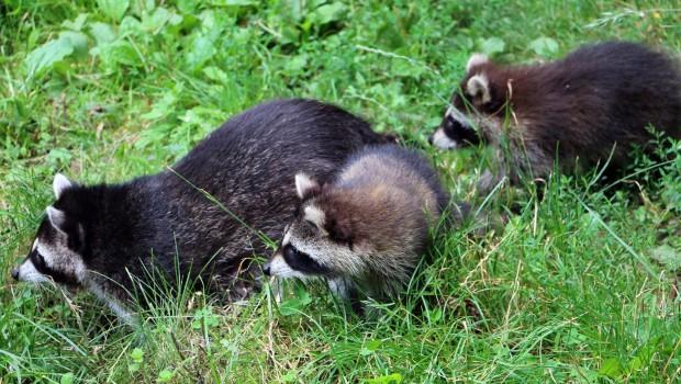 Waschbären-Jungtiere in der ZOOM Erlebniswelt 2016