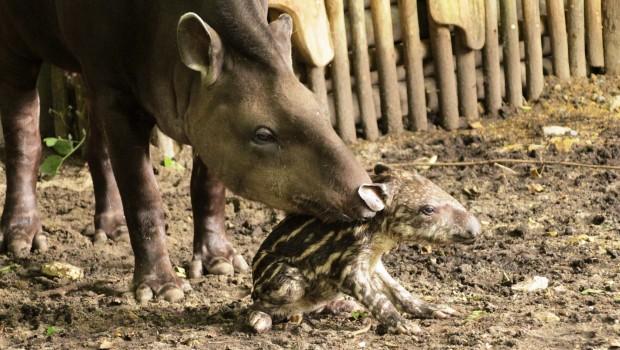 Zoo Osnabrück - Wasserschwein-Baby Amanda mit Mutter